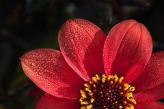 Fleur colorée rouge lumineuse de dahlia sur un fond foncé photo stock
