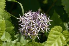Fleur comme une étoile Photographie stock libre de droits