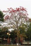 Fleur commune de Bombax Photos stock