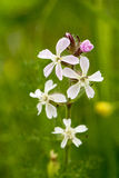 Fleur commune de Soapwort Photo stock