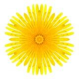 Fleur concentrique jaune de pissenlit d'isolement sur le blanc. Mandala Design Image libre de droits