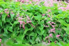 Fleur confédérée de vigne Photos libres de droits