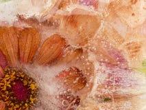 Fleur congelée rouge-orange Photographie stock libre de droits