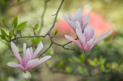 Fleur cor-de-rosa da magnólia na mola foto de stock