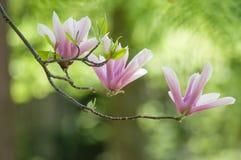 Fleur cor-de-rosa da magnólia na mola imagem de stock royalty free