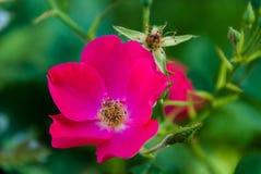 Fleur couleur cerise Photo stock