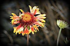 Fleur couvrante de Gaillardia photographie stock