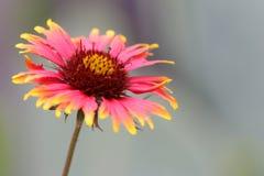 Fleur couvrante indienne image libre de droits