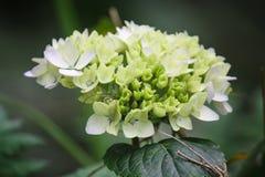Fleur crème molle sur le fond amorti vert Photo libre de droits