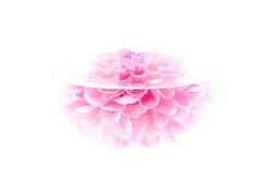 Fleur cramoisie de pivoine, clé élevée, d'isolement Photos libres de droits