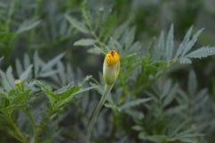Fleur croissante de Tagetes en août Photographie stock