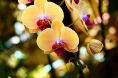 Fleur : Cultivar de Phalaenopsis, jaune d'orchidée de mite Photographie stock libre de droits