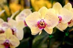 Fleur : Cultivar de Phalaenopsis, jaune d'orchidée de mite Photographie stock