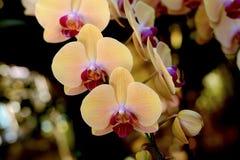 Fleur : Cultivar de Phalaenopsis, jaune d'orchidée de mite Photo libre de droits