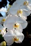 Fleur : Cultivar de Phalaenopsis, orchidée de mite Photographie stock libre de droits