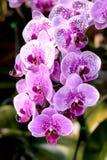 Fleur : Cultivar de Phalaenopsis, orchidée de mite Image libre de droits