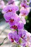 Fleur : Cultivar de Phalaenopsis, orchidée de mite Photos stock