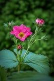 Fleur décorative de fraise Photo stock
