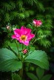 Fleur décorative de fraise Photographie stock