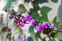 Fleur décorative de haricot Images stock