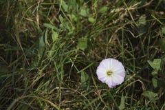 Fleur détaillée rose de gloire de matin dans un pré vert photo libre de droits
