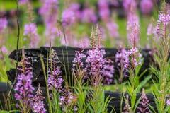 Fleur d'épilobe et bois de chauffage noir brûlé - parc national de Kootenay image stock