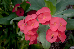 Fleur d'épine du Christ Photographie stock