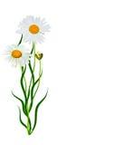 Fleur d'été de marguerites Image stock