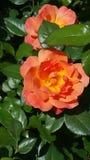 Fleur d'étés Images libres de droits
