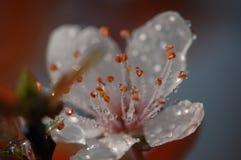 Fleur d'étamine-prune du ` s de fleur Images stock