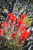 Fleur d'état du Wyoming, pinceau indien Image libre de droits