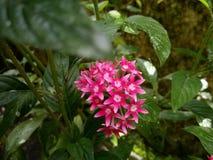 Fleur d'étoile Photos stock