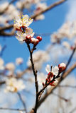 Fleur d'abricot Photo stock