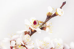 Fleur d'abricot Photographie stock