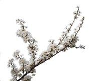 Fleur d'abricot d'isolement photos stock