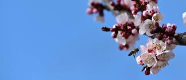 Fleur d'abricot de polinate d'abeille de miel en premier ressort au-dessus de fond vibrant de ciel bleu image libre de droits