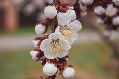 Fleur d'abricot Fleurs blanches de l'arbre fruitier photos libres de droits