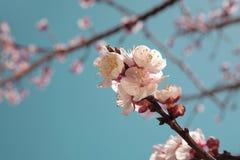 Fleur d'abricotier au printemps Photos libres de droits