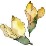 Fleur d'acacia dans un style d'aquarelle d'isolement Photo libre de droits