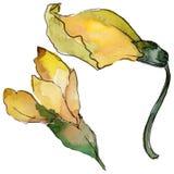 Fleur d'acacia dans un style d'aquarelle d'isolement Images stock