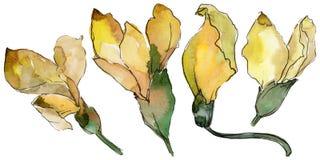 Fleur d'acacia dans un style d'aquarelle d'isolement Images libres de droits