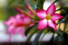 Fleur d'Adenium Photo stock