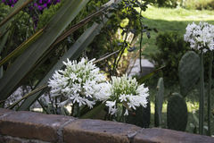 Fleur d'agapando Images stock