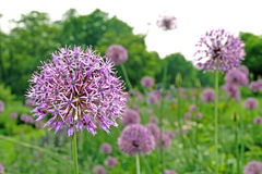 Fleur d'ail Image libre de droits