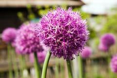Fleur d'ail Photographie stock libre de droits