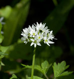 Fleur d'ail sauvage photographie stock