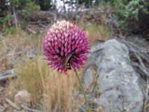 Fleur d'ail sauvage avec l'abeille Image libre de droits