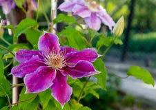 Fleur d'Alenky Photographie stock
