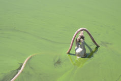 Fleur d'algues bleu-vert Images libres de droits