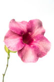 fleur d'allamanda Photographie stock